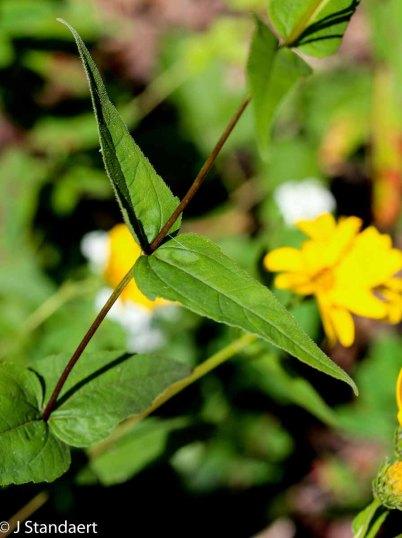 Woodland Sunflower (Helianthus divaricatus) Leaf