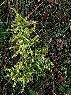 a Grape Fern (Botrichium sp.)