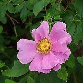 a Rose (Rosa sp.)