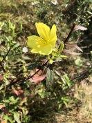 a Sundrop or Evening Primrose (Oenothera sp.)