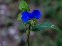 Asiatic Dayflower (Commelina communis*)