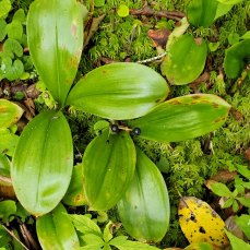 Bluebead Lily (Clintonia borealis) Fruit