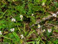 Bushy Aster (Symphyotrichum dumosum)