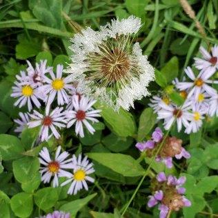 a Wet Common Dandelion (Taraxacum officinale*)