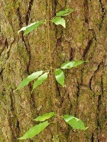 Cross Vine (Bignonia capreolata)