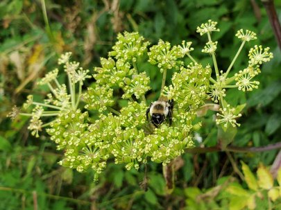 An Intoxicated Bee on Filmy Angelica (Angelica triquinata)