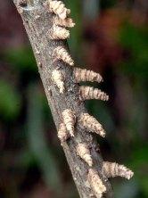 Galls on Sweetgum twigs
