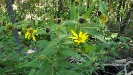 Gray Sunflower (Helianthus resinosus)