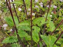 Hairy Wood Sunflower (Helianthus atrorubens) Leaves