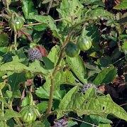 Horse Nettle in fruit (Solanum carolinense)