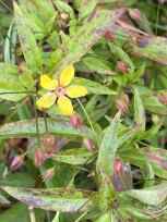 Lanceleaf Loosestrife (Lysimachia lanceolata) Bloom and Fruit
