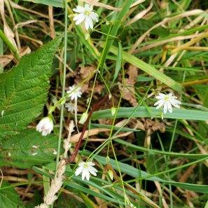 Lesser Stitchwort (Stellaria graminea*)
