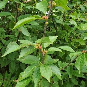 Mountain Holly (Ilex montana) Fruit