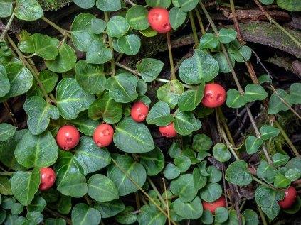 Partridge Berry (Mitchella repens)