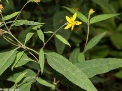 Small Wood Sunflower (Helianthus microcephalus)