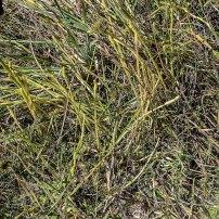 Southern Bog Clubmoss (Lycopodiella appressa)
