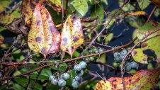 Whiteleaf Greenbrier (Smilax glauca) In Fruit