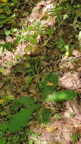 Wooly Elephant's Foot (Elephantopus tomentosus) Plant
