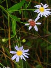 Rhiannon's Aster (Symphyotrichum rhiannon)