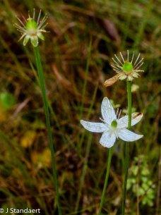 Bigleaf Grass-of-Parnassus (Parnassia grandifolia)