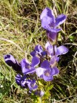 Fringed Gentian (Gentianopsis crinita)